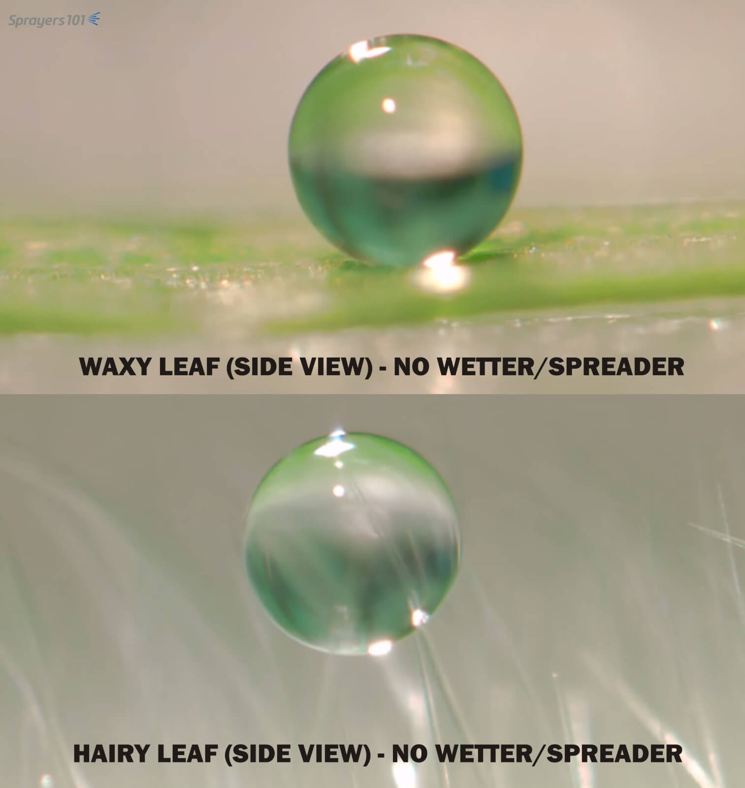 Note how little of the droplet contacts a waxy leaf (above). This hydrophobic reaction between water and wax can be overcome using a non-ionic spreader. Similarly, note how the droplet gets hung up on the trichomes (hairs) on a leaf before it reaches the leaf surface (below). Again, a non-ionic spreader would reduce droplet surface tension allowing it to splash onto the leaf. Photo Credit – Dr. H. Zhu, Ohio.
