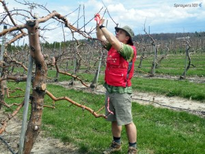 The author tying ribbons on the up-wind side in an apple orchard just past green-tip. The red vest has lots of pockets to hold supplies and sprayer operators can see it clearly for safety. The Hawaiian shirt is because it's Friday.