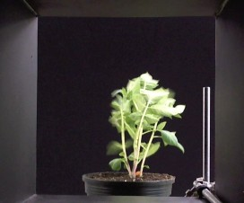 Potato plant in a wind tunnel exposed to 18 km/hr wind (high wind speed). Note the deformation and reduced surface area. Photo credit – B. Panneton, Quebec.