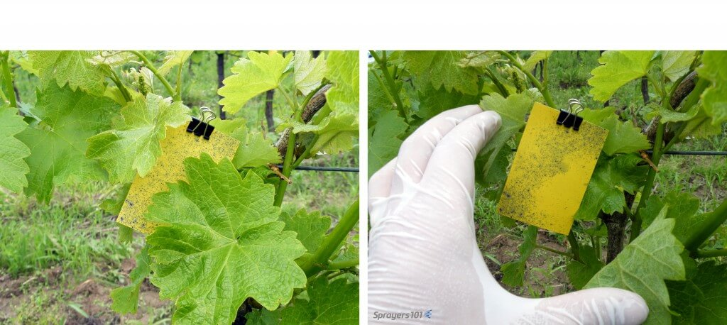 Use enough air to only just ruffle the leaves. This exposes all surfaces, however briefly, to the spray. Too much air will align leaves with the spray, exposing only their thin edge and making coverage difficult. Too much air may also cause leaves to shingle (overlap), and create shadows like on the grape leaves shown here.