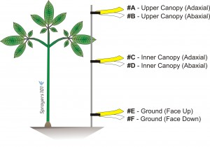 Location of water-sensitive papers in the ginseng canopy.