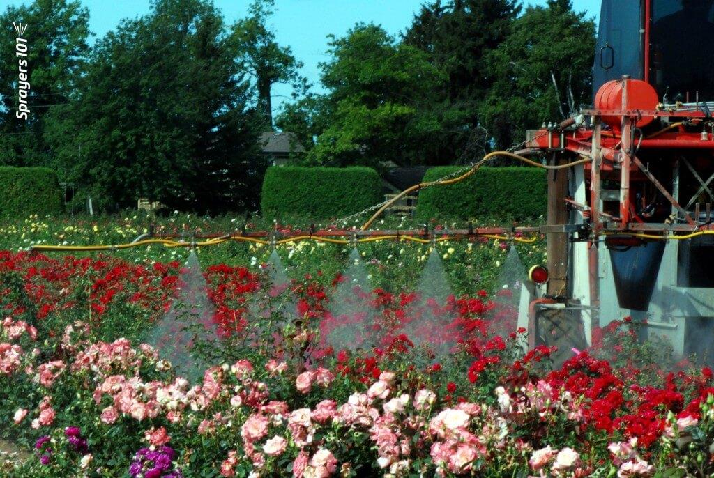 Spraying roses.