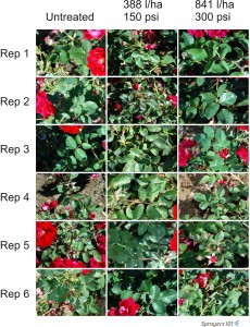 Visual record of randomly selected roses prior to treatment.