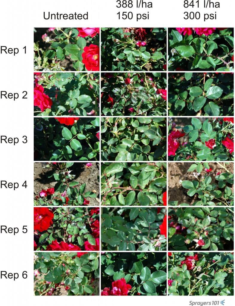 Visual record of randomly selected roses prior to treatment.
