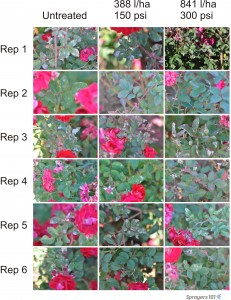 Visual record of randomly selected roses following treatment.