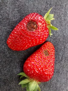 Strawberry anthracnose. Photo by Pam Fisher, OMAFRA.
