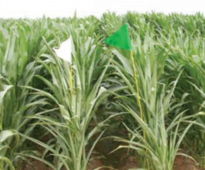 Corn field with glyphosate (white) and glufosinate (bright green) stacked technology. (Photo from UofA FSA2162)