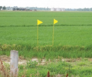 Yellow flags designate this field as a Clearfield rice field (Photo from UofA FSA2162)