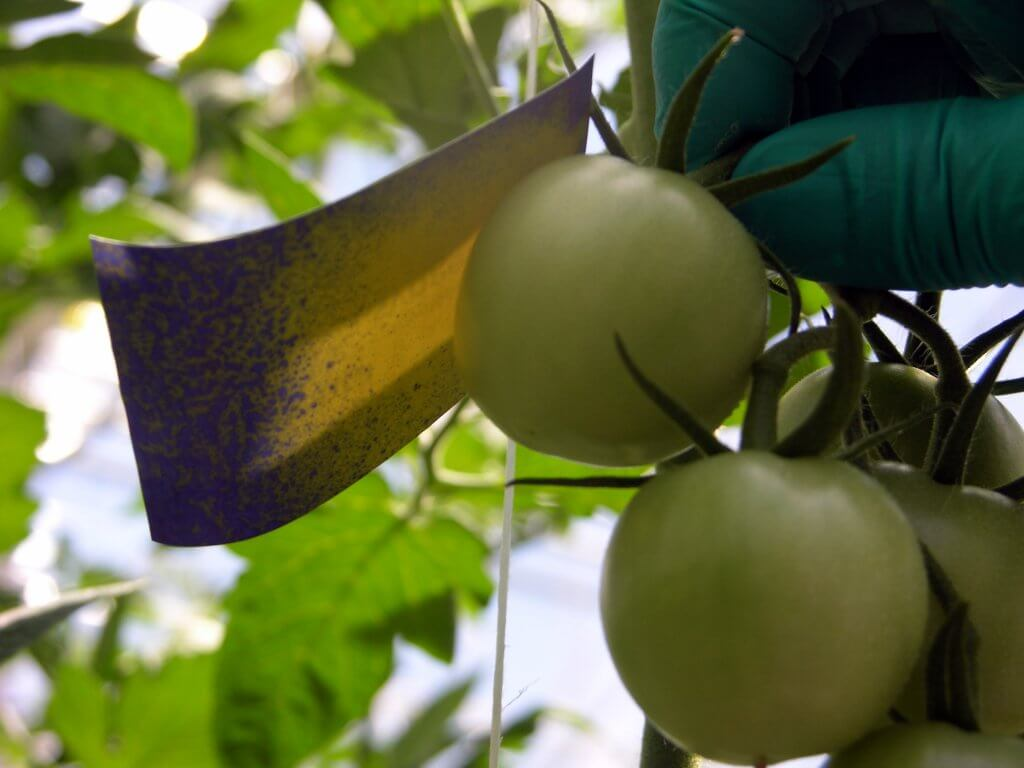 Water-sensitive paper shielded by a fruit. Sprayed with flat fan nozzles.