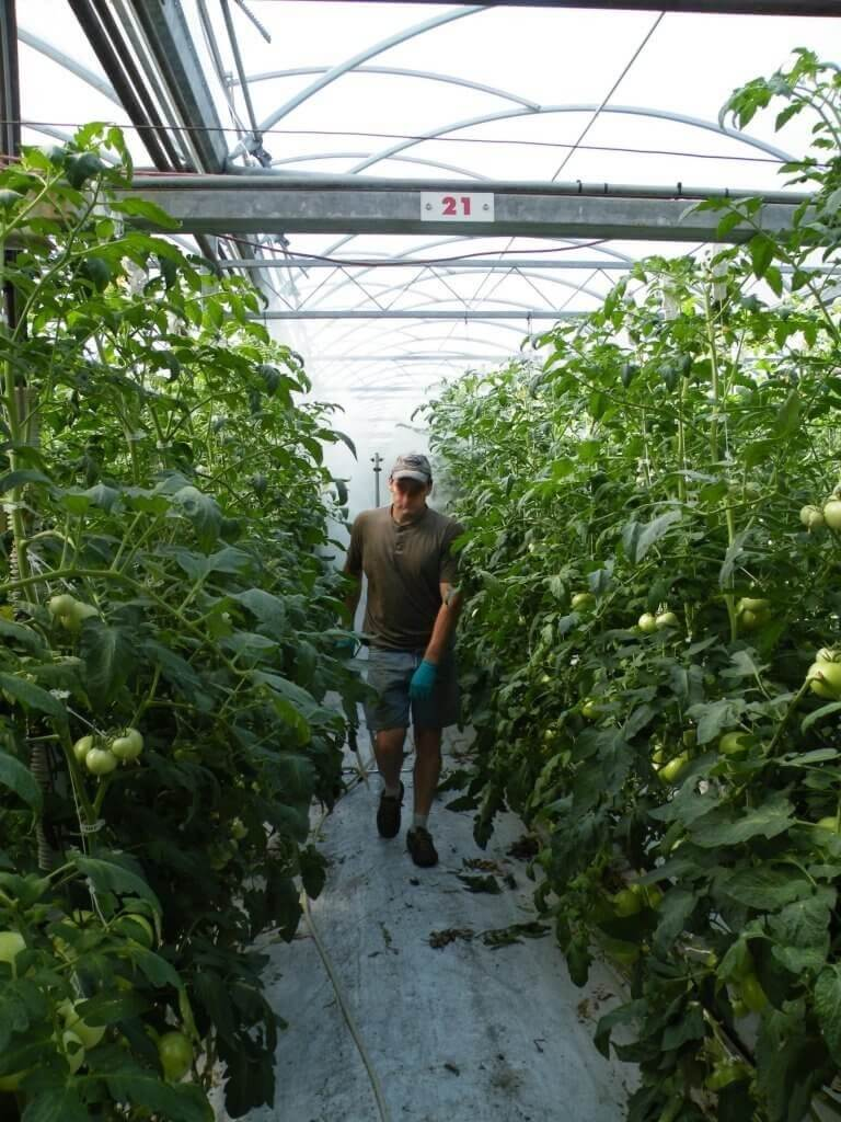 Demonstrating how an operator spays greenhouse tomatoes with a towed vertical boom. This was just water, so no PPE required.