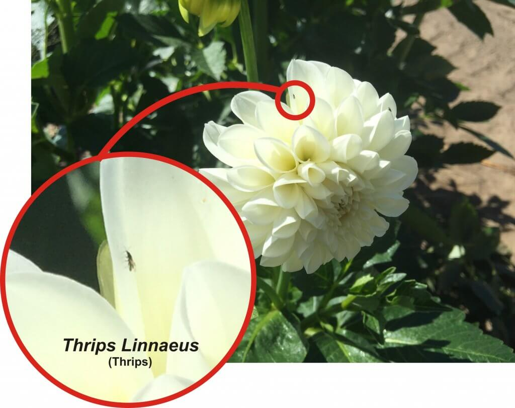 Thrips control in cut flowers – a good try | Sprayers 101